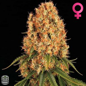 Barney's Farm – Orange Sherbert