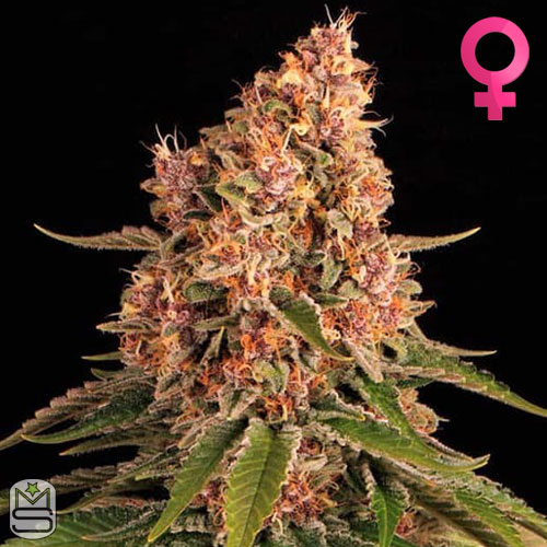 Barney's Farm - Pink Kush