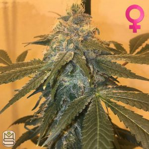 Cannarado Genetics – Affy Taffy