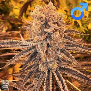 Cannarado Genetics – Goji Margy
