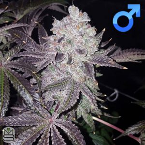 Envy Genetics – OrangeBlow