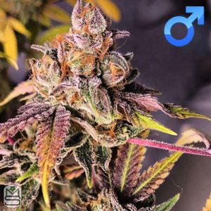 Envy Genetics – PopRocks