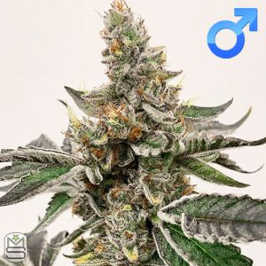 Exotic Genetix – Strawberry Lemonade