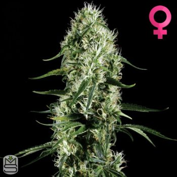 Green House Seed Co – Super Silver Haze