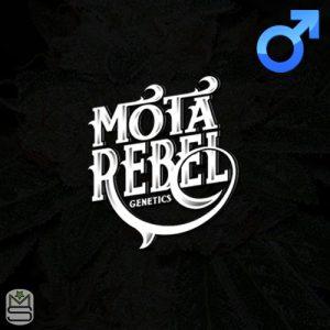 Mota Rebel Genetics – Ghash Monkey