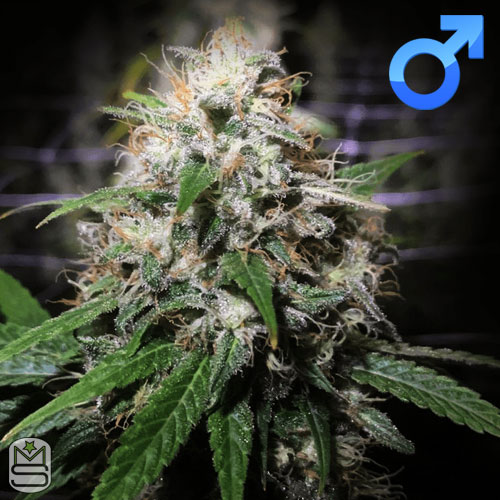 Original Dampkring Genetics – Electric Avenue