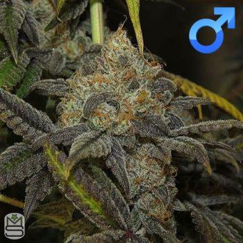 Seed Junky Genetics – Dosipop