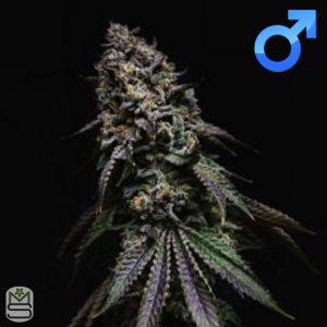 Seed Junky Genetics – Kush Mints x Triangle Kush BX3