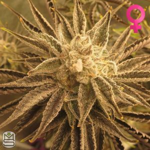 Trichome Jungle Seeds – Pineapple Incense