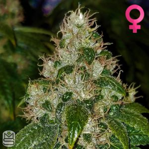 Barney's Farm – Amnesia Lemon
