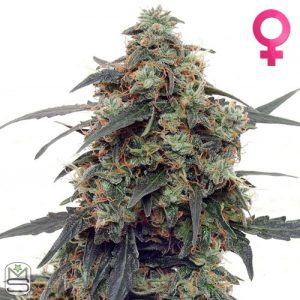 Barney's Farm – Auto Tangerine Dream