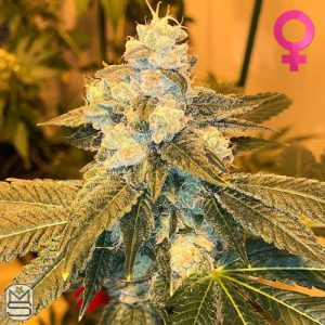 Cannarado Genetics – Blueberry Sundae