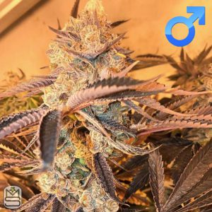 Cannarado Genetics – Candy Margy