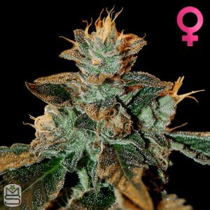 DNA Genetics – Cataract Kush