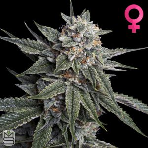 DNA Genetics – Holy Grail Kush