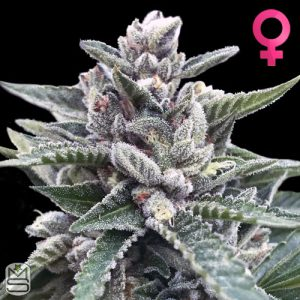 DNA Genetics – Kosher Sorbet