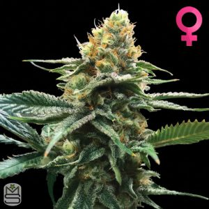 DNA Genetics – Sour Sorbet