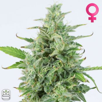Dinafem Seeds – Auto OG Kush