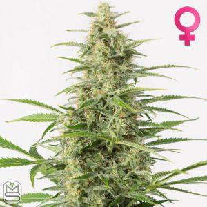 Dinafem Seeds – Auto Sour Diesel
