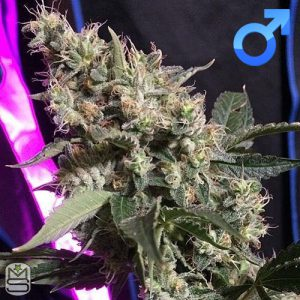 Dirty Water Organic Seeds – 13 Guava Dawgz