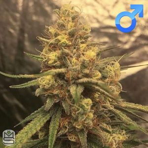 Dirty Water Organic Seeds – Banana Double