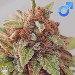 Dirty Water Organic Seeds – M.O.G (Mother Of Grimace)