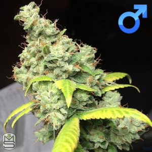 Dirty Water Organic Seeds – Sour Dubb Tre