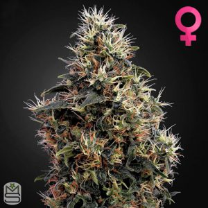 Green House Seed Co – Auto Sweet Mango