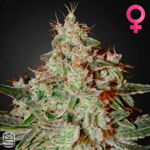 Green House Seed Co – Lemon Skunk