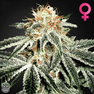 Green House Seed Co – White Widow