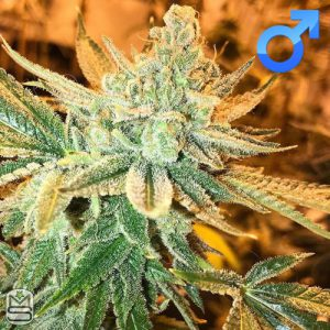 Green Team Genetics – Milk Pie