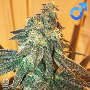 Green Team Genetics – Pebble Pie