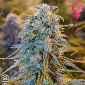 Humboldt Seed Organisation – Blue Dream