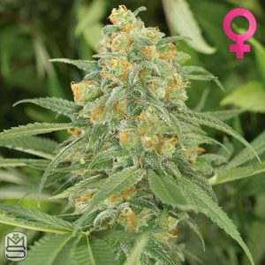 Humboldt Seed Organisation – Green Crack