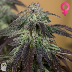 Humboldt Seed Organisation – OG Kush
