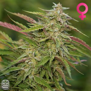 Humboldt Seed Organisation – Purple Trainwreck