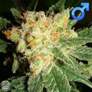 Lady Sativa Genetics – English OG