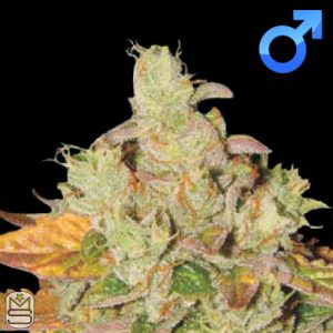 Lady Sativa Genetics – Original Diesel v3 Haze