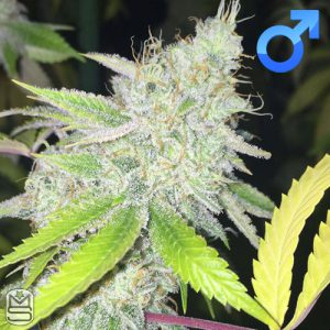 Lady Sativa Genetics – Ultra Glue