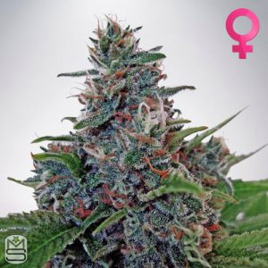Ministry Of Cannabis – Auto Blue Amnesia
