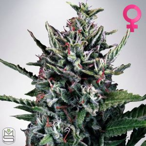 Ministry Of Cannabis – Auto Silver Bullet