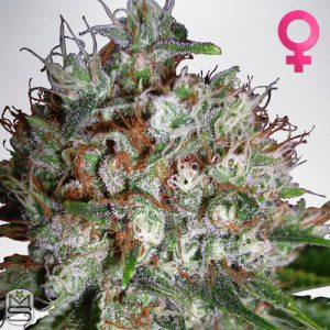 Ministry Of Cannabis – Big Bud XXL