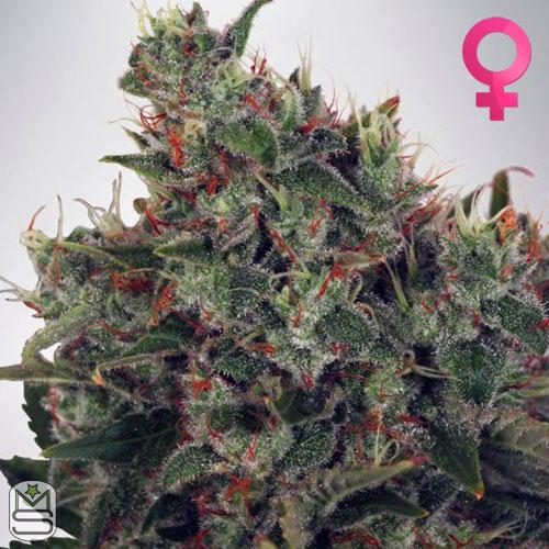 Ministry Of Cannabis - Ultra White Amnesia