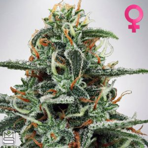 Ministry Of Cannabis – White Widow