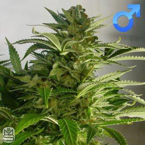 Mosca Seeds – Diesel Moonshine
