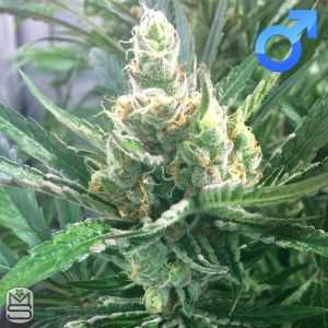 Mosca Seeds – Pink Lemonade
