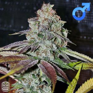 Mota Rebel Genetics – Firebird Kush