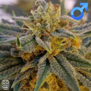 Mota Rebel Genetics – Orange Peel Ghash