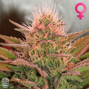 Nirvana Seeds – Bubblelicious