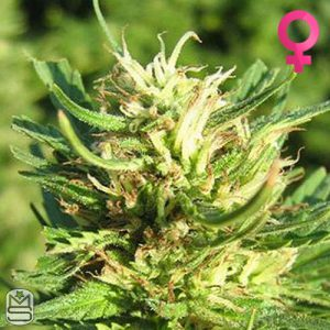 Nirvana Seeds – Super Skunk